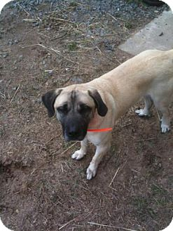 Anatolian Shepherd/Labrador Retriever Mix Dog for adption in Little Rock, Arkansas - Brayden