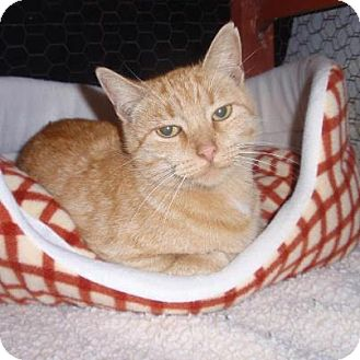 Domestic Shorthair Cat for Sale in East Brunswick, New Jersey - Nicki