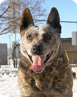 Australian Cattle Dog Dog for Sale in Meridian, Idaho - Mystic
