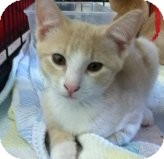 Domestic Shorthair Kitten for Sale in Riverside, Rhode Island - Daryl