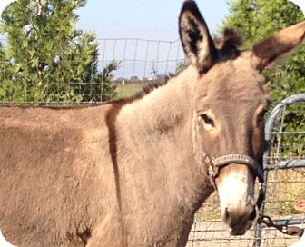 Donkey/Mule/Burro/Hinny Mix for Sale in Bangor, California - Maddie