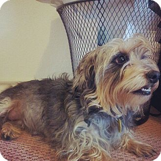 Yorkie, Yorkshire Terrier/Silky Terrier Mix Dog for adption in Pflugerville, Texas - Maggie