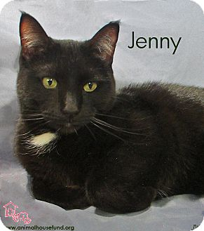 Domestic Shorthair Cat for Sale in St Louis, Missouri - Jenny