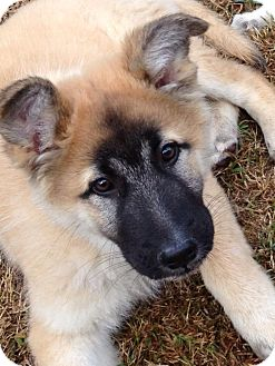 German Shepherd Dog Mix Puppy for Sale in Torrance, California - BERT