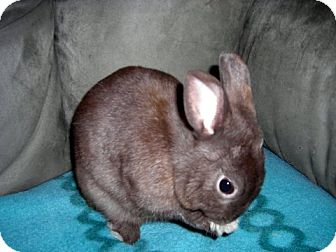 Netherland Dwarf Mix for Sale in East Hartford, Connecticut - Peanut