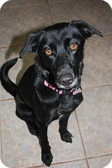 Labrador Retriever Mix Dog for Sale in Stilwell, Oklahoma - Sophie