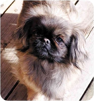 Orofino, ID - Pug/Pomeranian Mix. Meet Sandi a Puppy for Adoption.