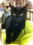 Domestic Shorthair Kitten for adoption in Pittstown, New Jersey - Pixel
