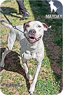 American Pit Bull Terrier Mix Dog for adption in Phoenix, Arizona - Peanut