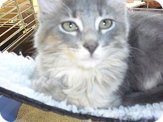 Domestic Mediumhair Kitten for Sale in Fairborn, Ohio - Grey Kitties
