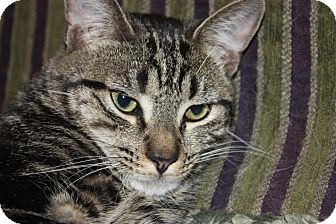 Domestic Shorthair Cat for Sale in Little Falls, New Jersey - Grover (LE)