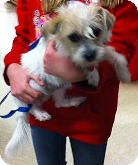 Terrier (Unknown Type, Small) Mix Puppy for Sale in Loudonville, New York - Emily