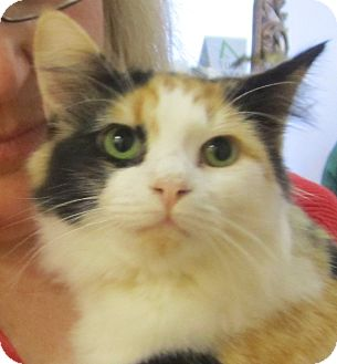 Calico Kitten for Sale in Chandler, Arizona - Truffles