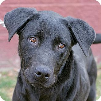 Labrador Retriever Mix Dog for Sale in Springfield, Illinois - Blue