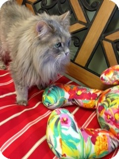 Domestic Longhair Cat for adoption in Chippewa Falls, Wisconsin - Gidget
