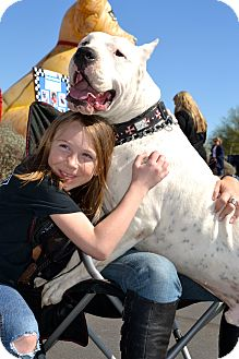 Dogo Argentino Dog for adption in Phoenix, Arizona - Drago
