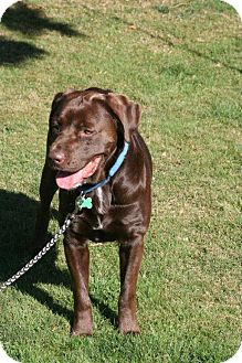 Labrador Retriever Mix Dog for Sale in Bellingham, Washington - Ruger