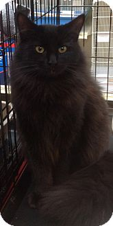 Domestic Longhair Cat for Sale in Modesto, California - Moonlight