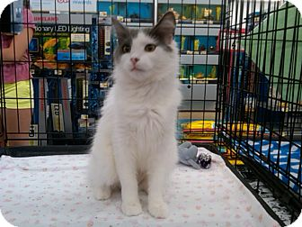 Domestic Longhair Cat for Sale in Sterling Hgts, Michigan - Lil Lady