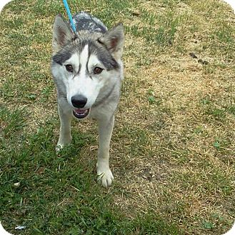 Siberian Husky Dog for Sale in Corona, California - Manda