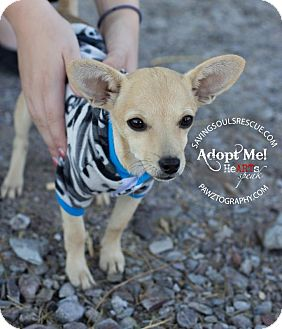 Chihuahua Mix Puppy for Sale in Scottsdale, Arizona - Benny