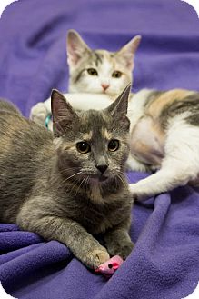 Domestic Shorthair Kitten for Sale in Chicago, Illinois - Dallas & Tulia