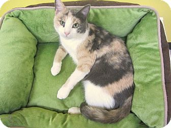 Calico Cat for Sale in Mobile, Alabama - Kali