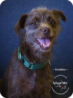 Border Terrier Mix Dog for Sale in Phoenix, Arizona - Amadeus