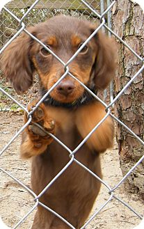Dachshund Mix Puppy for Sale in manasquam, New Jersey - Beth