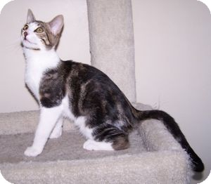 Domestic Shorthair Kitten for Sale in Colorado Springs, Colorado - K-Sophie4-Jersey