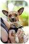 Adopt A Pet :: Brad the sweet lap dog! - Sherman Oaks, CA