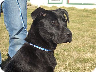 Labrador Retriever Mix Dog for Sale in Germantown, Maryland - Raven