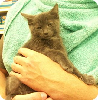 Domestic Shorthair Kitten for Sale in Sterling, Virginia - Tanner