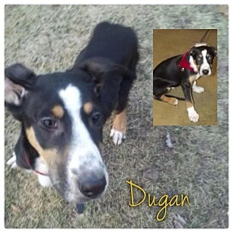 Greater Swiss Mountain Dog Mix Puppy for Sale in Westland, Michigan - Dugan