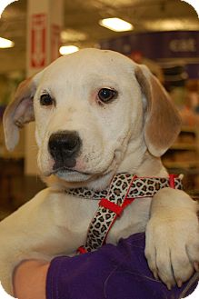Boxer/Labrador Retriever Mix Puppy for Sale in London, Kentucky - Minnie