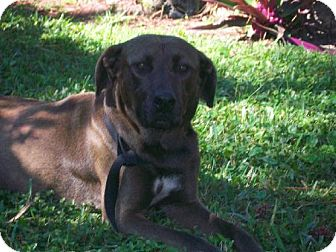 Labrador Retriever Mix Dog for adption in Parkland, Florida - Laddie