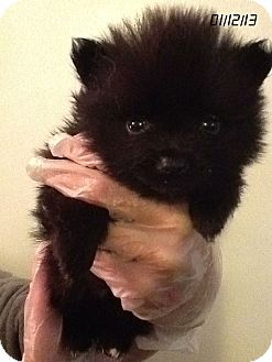 Pomeranian Puppy for Sale in Springfield, Virginia - Timmy Tippy-Toes