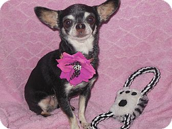 Chihuahua Dog for Sale in phoenix, Arizona - Tink