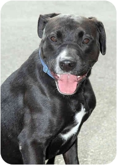 Labrador Retriever/Boxer Mix Dog for adption in Marina del Rey, California - Jackson