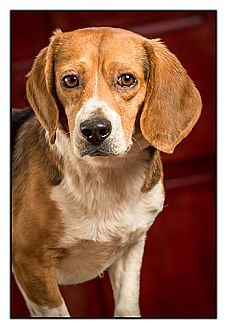 Beagle Dog for Sale in Owensboro, Kentucky - Mr. Bates