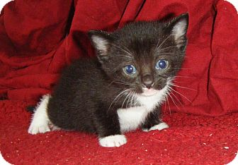 Domestic Shorthair Kitten for Sale in Bentonville, Arkansas - Starlight Mint