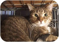 Maine Coon Cat for adoption in New York, New York - Tigerlily