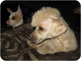 Poodle (Miniature)/Chihuahua Mix Dog for Sale in phoenix, Arizona - stitch