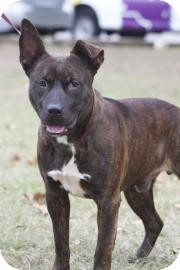 American Pit Bull Terrier Mix Dog for Sale in Gainesville, Florida - Bear