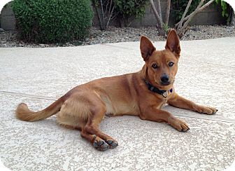 Basenji/Corgi Mix Dog for Sale in Chandler, Arizona - Sam