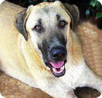 Anatolian Shepherd Dog for adption in Little, Rock, Arkansas - TEXAS BRYNNER