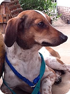 Dachshund Dog for adption in Raleigh, North Carolina - Sally