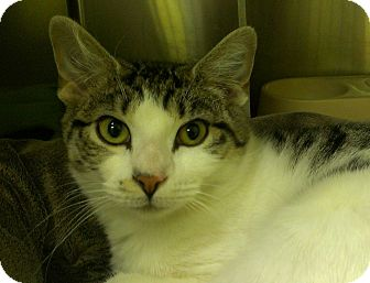Domestic Shorthair Cat for adoption in Richboro, Pennsylvania - Celine Dion