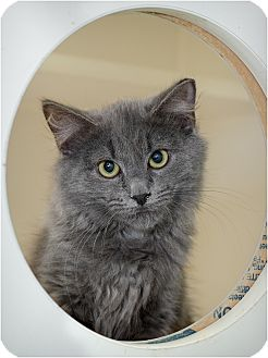 Domestic Shorthair Kitten for Sale in Salem, New Hampshire - Puff