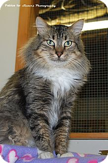 Maine Coon Cat for Sale in Lincoln, Nebraska - Sergio